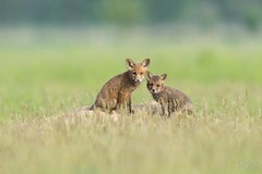 Rotfuchs (Tierfotografie Niklas Mattern) Tags: wildlife canon eos 1dxmarkii ef 400l28isii rotfuchs fuchs red fox