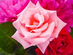 Un grand Merci pour vos passages (musette thierry) Tags: musette thierry rose fleur d800 compostion flower falowme juin couleur rouge red flor