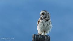 "Short-eared Owl (Bob Gunderson) Tags: ""sierravalley"" asioflammeus birds california dysonlane northerncalifornia owls plumascounty shortearedowl sierras coth coth5 ngc"