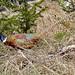 DSC00364 - Beautiful Pheasant