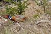 DSC00364 - Beautiful Pheasant (archer10 (Dennis) 136M Views) Tags: sony a6300 ilce6300 18200mm 1650mm mirrorless free freepicture archer10 dennis jarvis dennisgjarvis dennisjarvis iamcanadian novascotia canada mainetrail pheasant bird