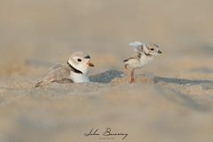Piping Plover (johnbacaring) Tags: shorebirds plover endangered pipingplover wildlife nature birds birding newjersey jerseyshore ploverchick chick