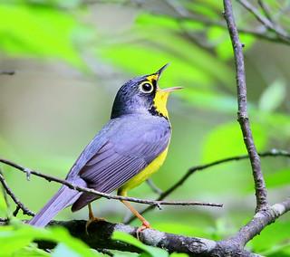 Canada-Warbler-20w