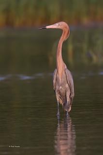 Reddish-Egret-Sweet-Light-Noel-Heustis