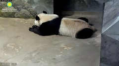 2018_06-09d (gkoo19681) Tags: beibei chubbycubby fuzzywuzzy adorableears feetsies patientlywaiting lyingdown toocute beingignored treattime pacing beingadorable meltinghearts precious amazing undecided ccncby nationalzoo