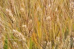 Este ya ha crecido (Micheo) Tags: granada spain vegadegranada trigo ngc cereales cosecha harvest crops espigas ears