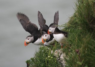 Thee Atlantic Puffins (Fratercula arctic) together on cliff about to launch into flight