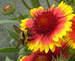 A busy visitor to the pretty Gaillardias in my garden (peggyhr) Tags: peggyhr bee flower yellow orange garden dsc04485a bluebirdestates alberta canada level1peaceawards carolinasfarmfriends photofeelings mosfotogarten