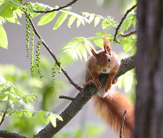 You can't catch me here on my black walnut tree