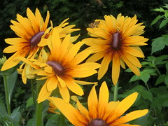 Che ci faccio qui (diemmarig) Tags: rudbeckiaflowerdistortionvirus mutantgarden httpswwwflickrcomexplore20180614