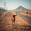 Cross the Path (*trevor) Tags: asia fujifilm india pushkar travelphotography xt2 bull path road