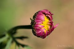L'Esseulée (Sous l'Oeil de Sylvie) Tags: fleur macro boutondefleur flower sousloeildesylvie pentax ks2 tamron90mm profondeurdechamps dof beauce arboretum juin june 2017