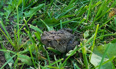 Toad (RockN) Tags: toad hopecemetery patient may2018 worcester massachusetts newengland