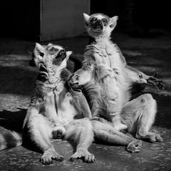 Lemur Sunbathing (CarSaBe) Tags: animal tier lemur lemuren affen primaten primat apes square lumix sunbathing sonnenbad sonne sun shadow schatten zoo legs face gesicht black white schwarz weis hands fur fell eears hagenbeck