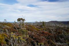 20180527-25-Colours in low alpine shrubs (Roger T Wong) Tags: 2018 australia mtfield mtfieldeast np nationalpark rogertwong sel2470z sony2470 sonya7iii sonyalpha7iii sonyfe2470mmf4zaosscarlzeissvariotessart sonyilce7m3 tasmania bush bushwalk outdoors scrub tramp trek walk