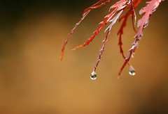 Drippy..... (flying-leap) Tags: northcanterbury nz the4seasons winter autumn droplet 4autumn maple sony sonydscrx10m4 sonydscrx10iv sonyrx10iv nature