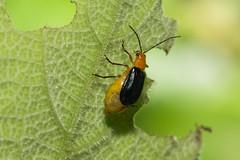 IMG_5861  pregnant leaf beetle (vlee1009) Tags: 2018 60d canon may taiwan nature 尖石鄉 新竹縣 pregnant 金花蟲 beetles chrysomelidae 金花蟲科 coleoptera 鞘翅目