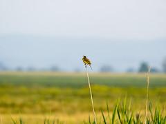 P5310158 (turbok) Tags: schafstelzemotacillaflava tiere vögel wildtiere c kurt krimberger