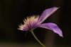 Clematis 5 (dennisgg2002) Tags: massachusetts forest park springfield clematis flower purple love me
