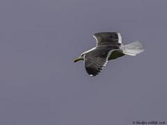 getting there (blackfox wildlife and nature imaging) Tags: panasonicg80 leica100400 gulls bif wales