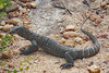 Goanna (Uhlenhorst) Tags: 2012 australia australien animals tiere travel reisen coth ngc coth5