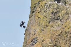 Coming in Hot (dbifulco) Tags: bird cannonbeach flight flying nature oregon oregoncoast pelagiccormorant wildlife