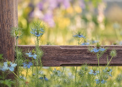 Flowers along the fence (mclcbooks) Tags: flower flowers floral nigella loveinamist fence denverbotanicgardens colorado