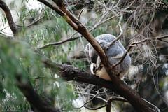 Sleeping (D. R. Hill Photography) Tags: koala koalabear animal wildlife zoo perthzoo perth westernaustralia australia travel bokeh tree sleep sleeping nikon nikond750 d750 nikon80200f28 80200mm