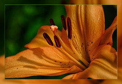 Tiger Lily (scorpion (13)) Tags: tiger lily blossom macro frame nature garden color creative photoart summer sun insect ant