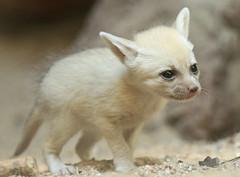 fennec artis BB2A0540 (j.a.kok) Tags: fox vos fennek fennec woestijnvos dessertfox artis animal africa afrika canine mammal zoogdier dier predator