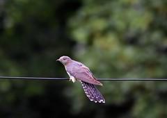 Cuckoo, female. (jimbrownrosyth) Tags: