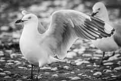 Two seagulls (NZL365) Tags: seagulls seagull seabird birdphotography 365days 365photochallenge 365project project365 canon7dii petonebeach petone nature blackandwhite blackwhite