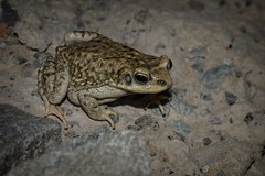 Duttaphrynus dhufarensis (AlexandreRoux01) Tags: dhofar toad duttaphrynus dhufarensis