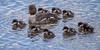 Common Goldeneye Brood (sunrisesoup) Tags: commongoldeneye loganlake maggs park bc canada ducklings bird nature clutch brood chicks