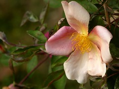 sto per volar via (fotomie2009) Tags: rosa fiore flower rose fly insect insecta insetto nuances mutabilis