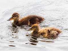 Ducklings (Andy Sut) Tags: ducklings nottingham rivertrent bird young nature swim water lumix andysutton bridgecamera amateur