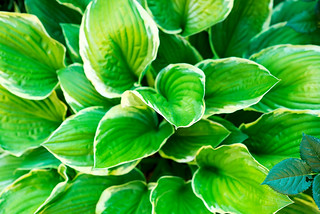 Green leaves hosta photographed in the garden
