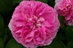 IMG_4792 (Lightcatcher66) Tags: rosen rosa königinenderblumen lightcatcher66