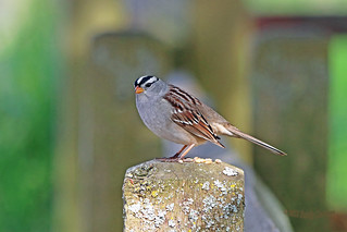 White-crowned Sparrow 18-0422-2699