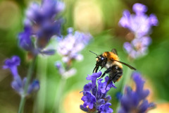 Bumblebeeworld (mechanicalArts) Tags: bumblebee hummel lavendel meyer optik görlitz trioplan 29 50mm