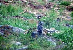 Owl (anders61801) Tags: sweden falmark owl nature forrest sverige bird fauna