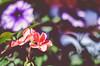 167 ~ 365 (BGDL) Tags: lightroomcc nikond7000 nikkor50mm118g bgdl landscape niftyfifty no6365~2018 geranium hangingbasket garden splashofcolours