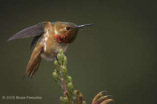Male Allen's Hummingbird Stretches Wings Back