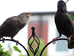 DSC00144 (robinsparrow) Tags: starling birding birds birdwatching nature wildlife garden wild outdoor