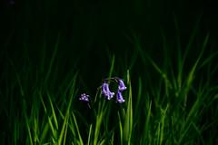 Bluebell in light (taitalan) Tags: light bluebells bluebell flower vibrant