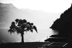 Tree (Chris Herzog) Tags: ifttt 500px jetty pier lake boardwalk riverbank dawn idyllic sunrise footbridge dock tree black white mountains switzerland