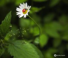 Der Marienkäfer hat sich bei seinem Flug über die Frühlingswiese eine schöne Blume gepflückt. (john_berg5) Tags: flower ladybird marienkäfer blume blüte sunshine sonnenschein grüs green beautiful