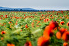 Field. (cosovan vadim) Tags: field poppies flowers landscape spring red nature d750