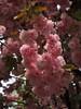 Prinzessinnenblüten (Pico 69) Tags: rosa blüte äste baum natur pico69