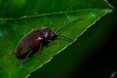 Melyridae (carlosbenju) Tags: naturaleza nature verde green macros macro macrodreams macrofotografia macrobug insecto insect beautilmacro